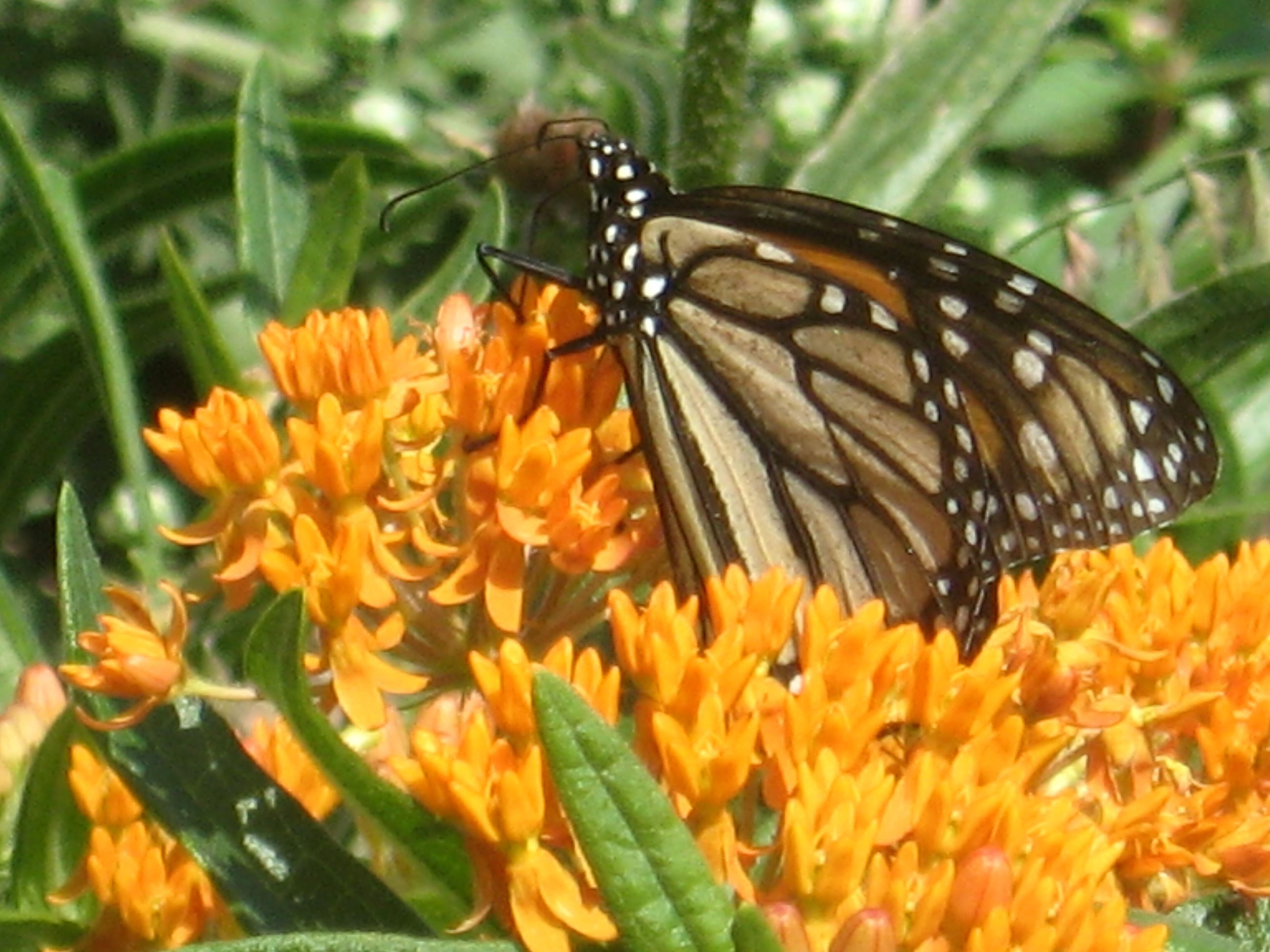 Butterfly milkweed & Monarch